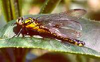 A Club-tailed Dragonfly (Gomphus vulgatissimus) (Photo by: Steve J. McWilliam)